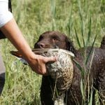 curly coated retriever shedding and grooming
