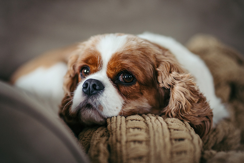 Cute Cavalier King Charles Spaniel puppy on couch