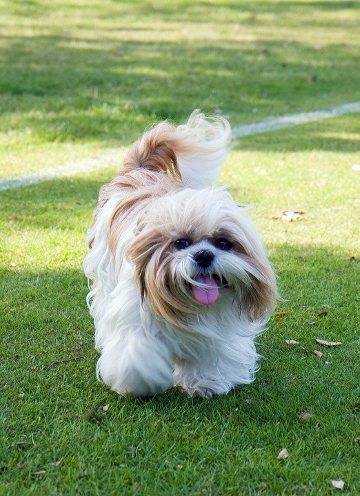 cute shih tzu puppy with tongue sticking out