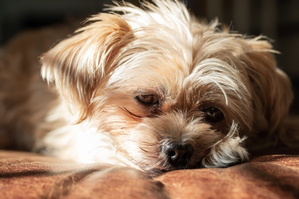 Cute Shorkie lying on the couch