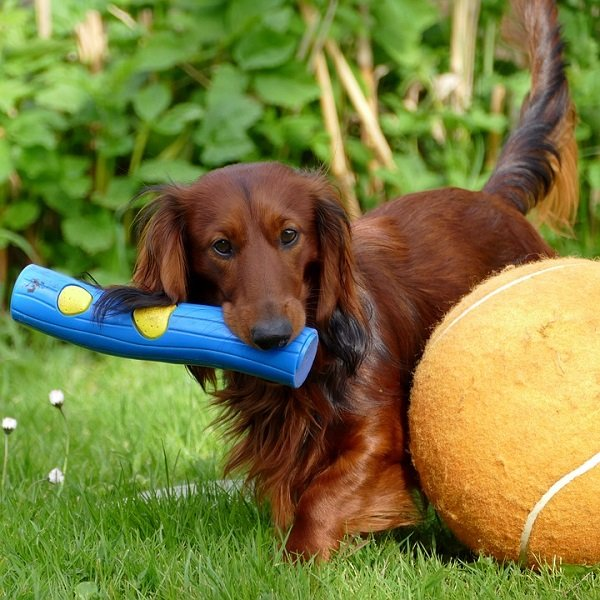 dachshund price dachshund training