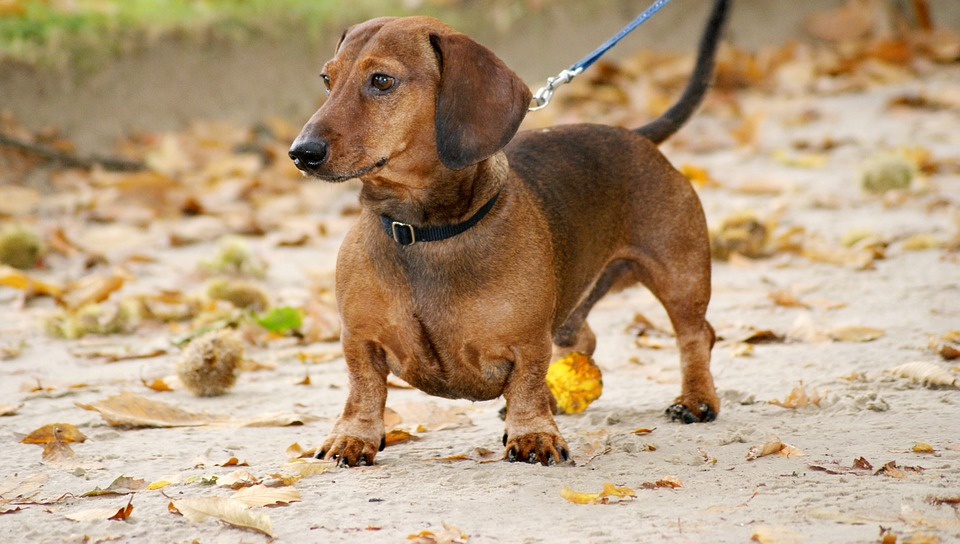 dachshund temperament