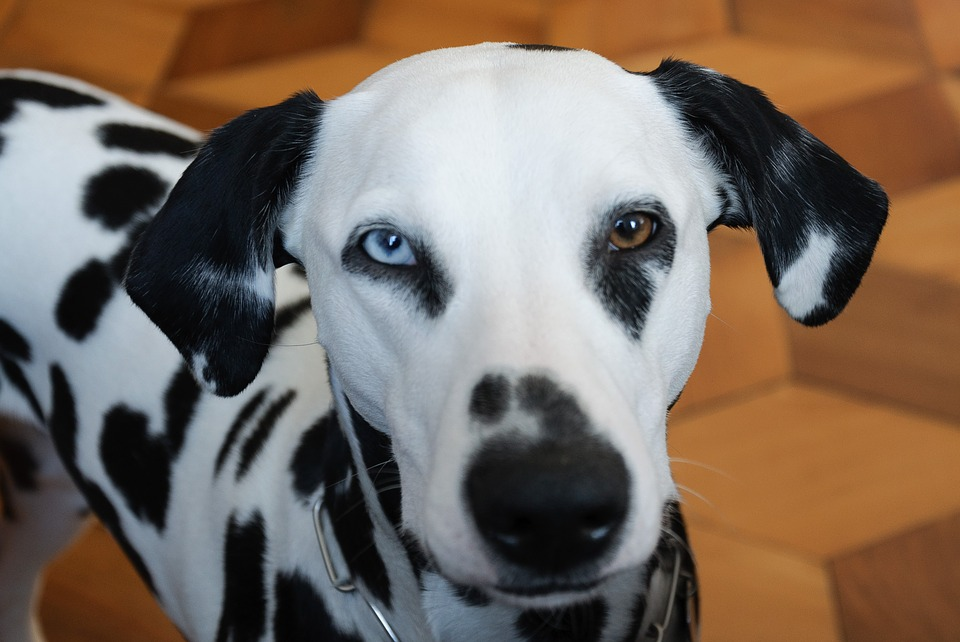 dalmatian blue and brown eyes