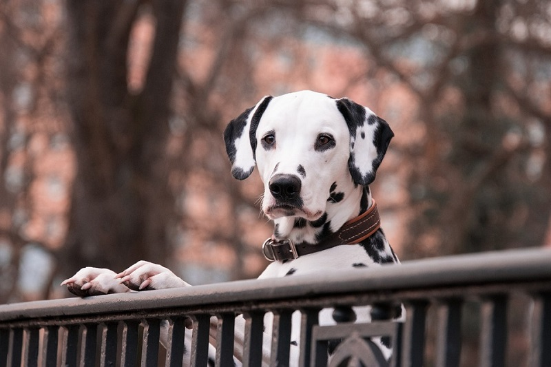 a dalmatian looking over the fence