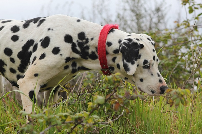 a dalmatian sniffing the grass