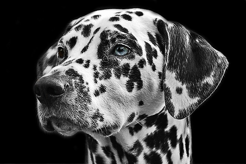 dalmatian-with-one-brown-and-one-blue-eye