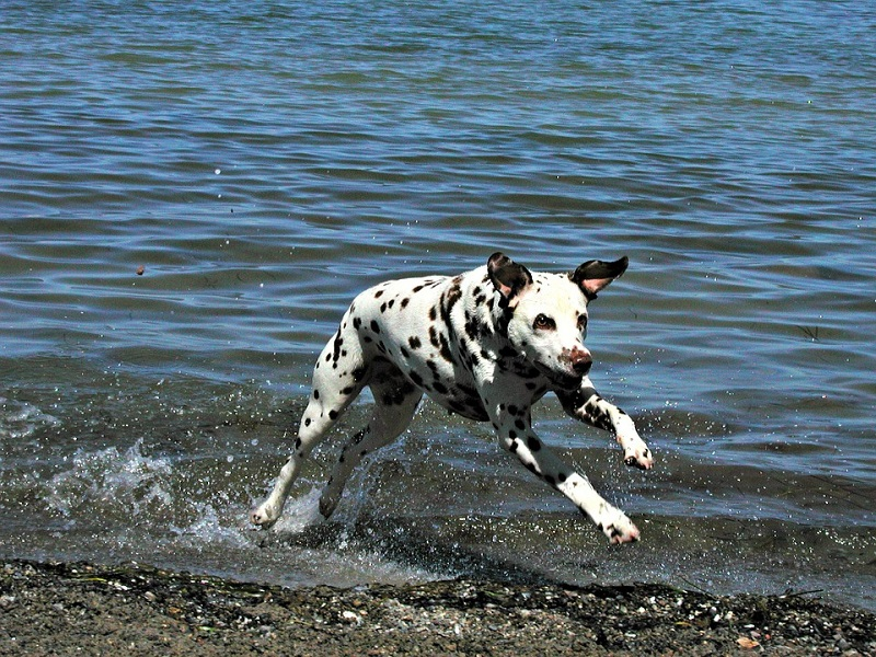 a dalmatian running by the water