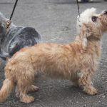dandie dinmont terrier puppies for sale