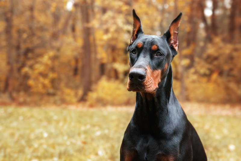 Doberman Pinscher with trees in the background taken in autumn