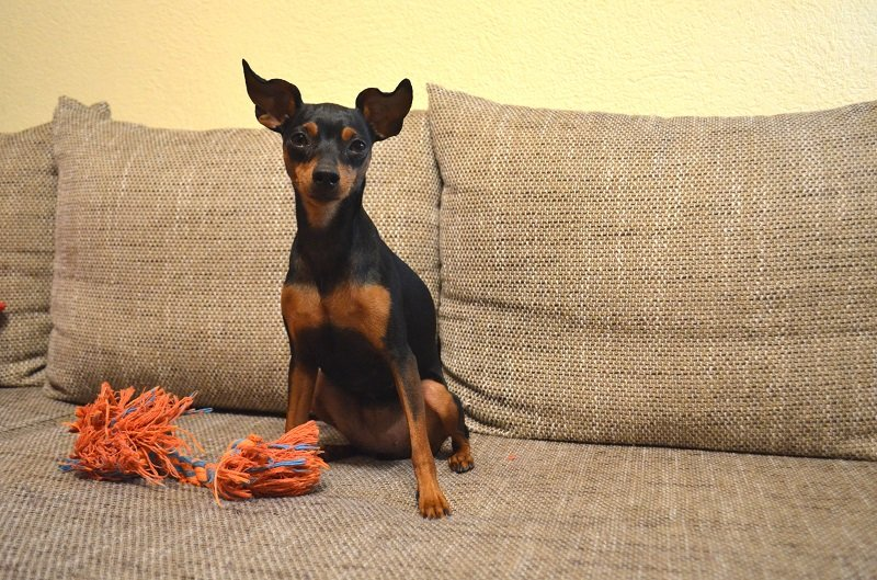 doberman puppy on couch