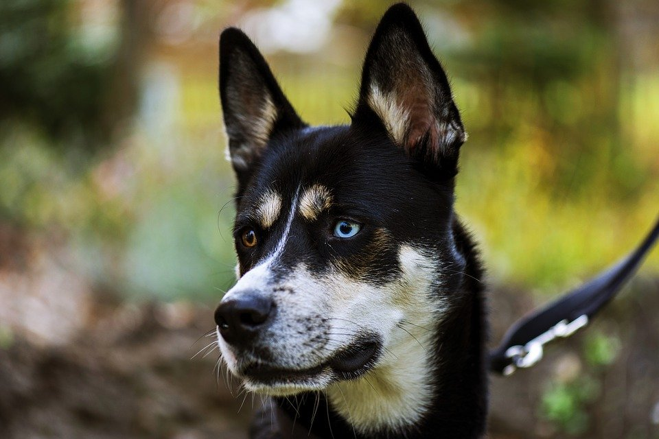 dog breeds blue green eyes or odd eyes