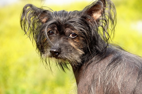 dog breeds that dont shed Chinese crested