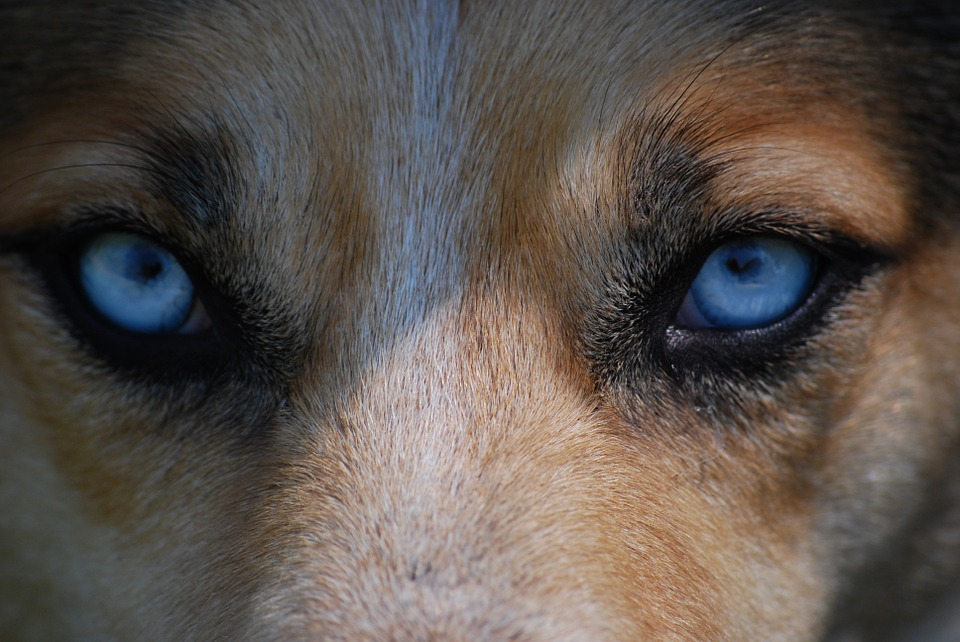 dog breeds which have blue eyes