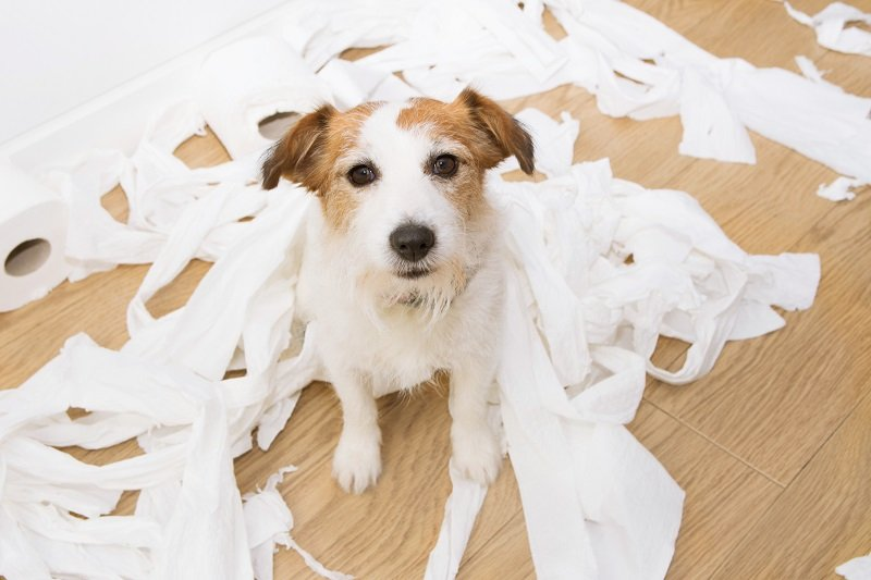 Dog mischief. Jack russell with guilty expression after play unrolling toilet paper.