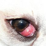 dog cherry eye treatment
