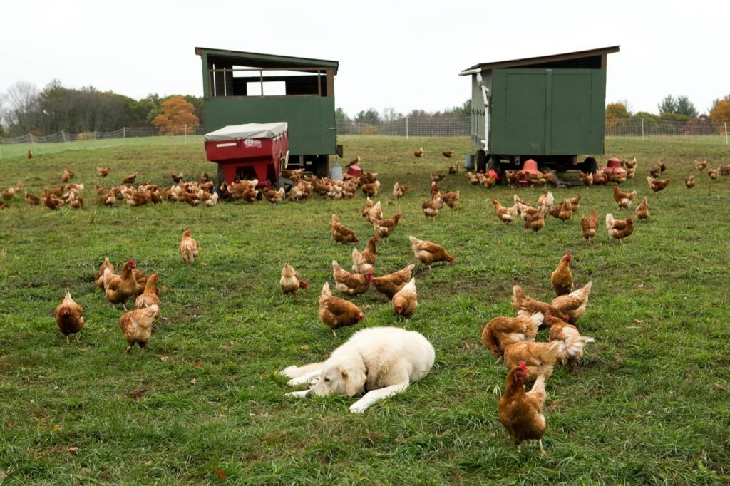 Chickens on a farm with a dog looking after them