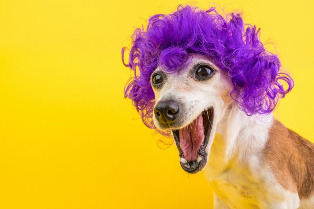 Dog with purple curly hair on yellow background