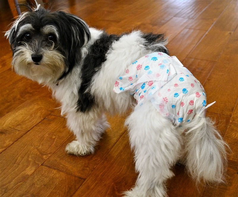 A cute havanese dog in heat is wearing a specialty diaper to absorb the discharge