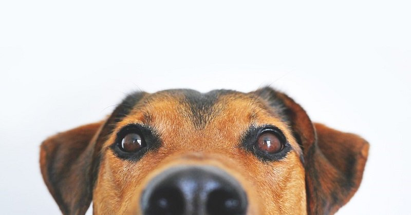 dog eye infections