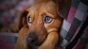 dog hernia causes symptoms and post dog hernia surgery recovery