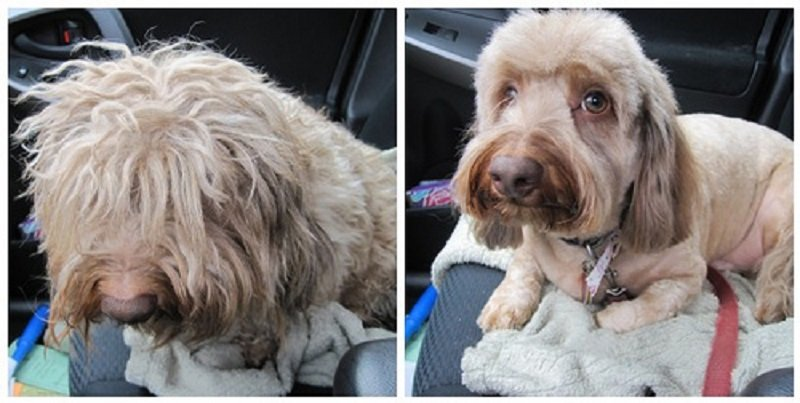 matted dog hair before and after