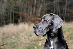 dog-names-for-Great-Dane-male