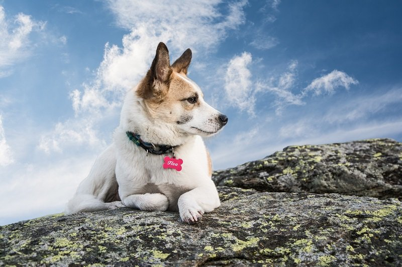 dog lying on a rock and looking in the distance