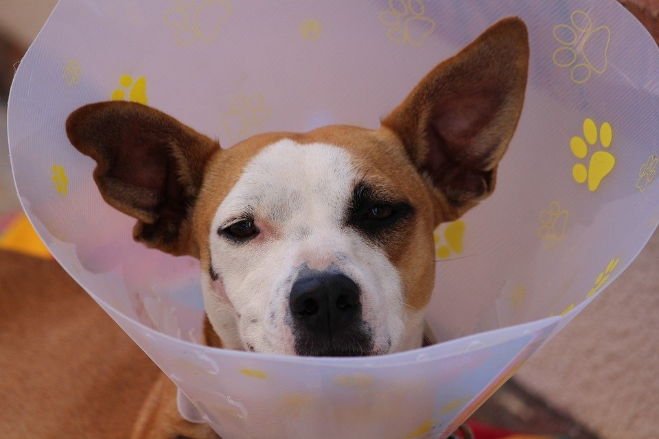 dog neutering surgery what to expect caring for spayed or neutered pets