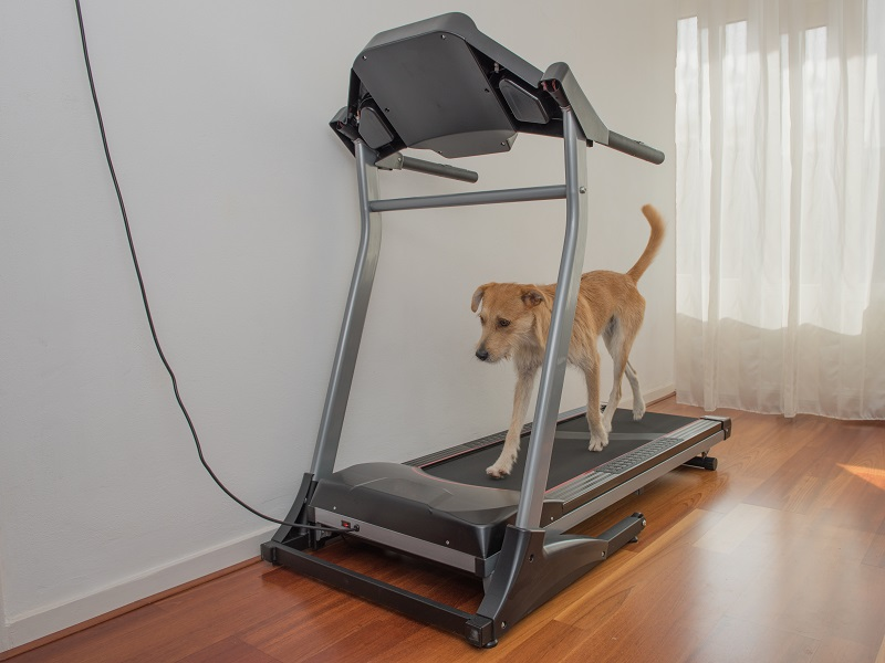 brown dog walks on treadmill in room at home