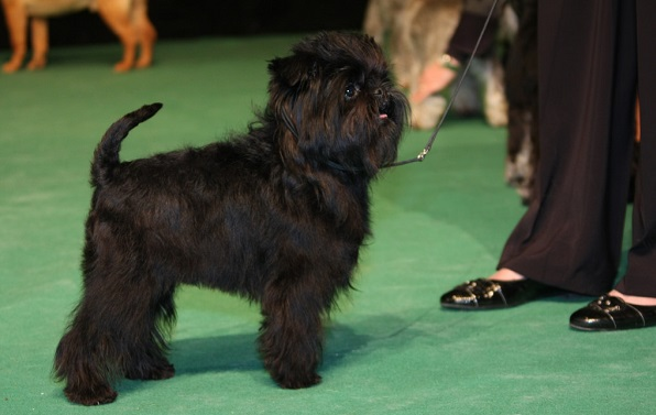 dogs that dont shed much affenpinscher