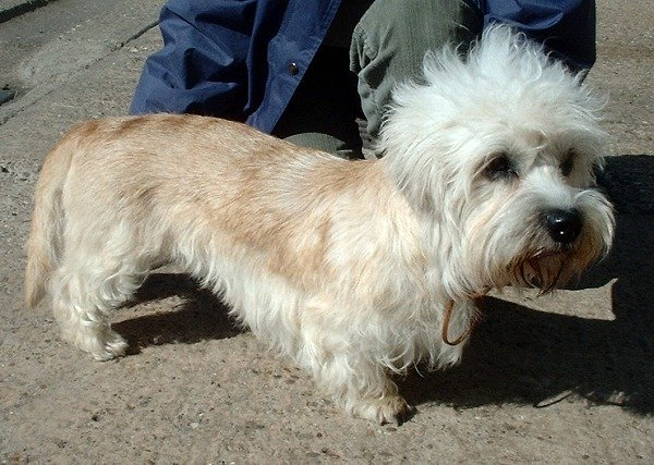 dogs that dont shed much dandie dinmont terrier