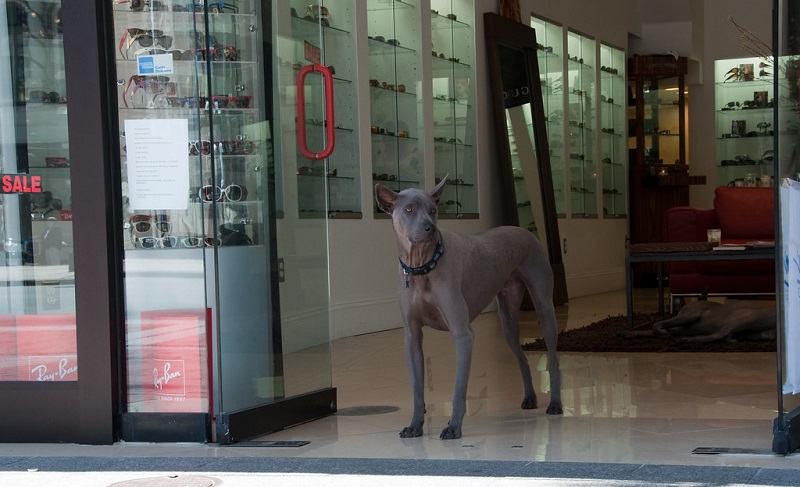 an elegant Thai ridgeback stands guard