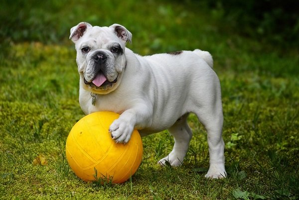 english-bulldog calm dog breeds that don't shed too much