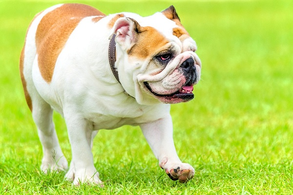 english-bulldog one of the most expensive dog breeds in the world