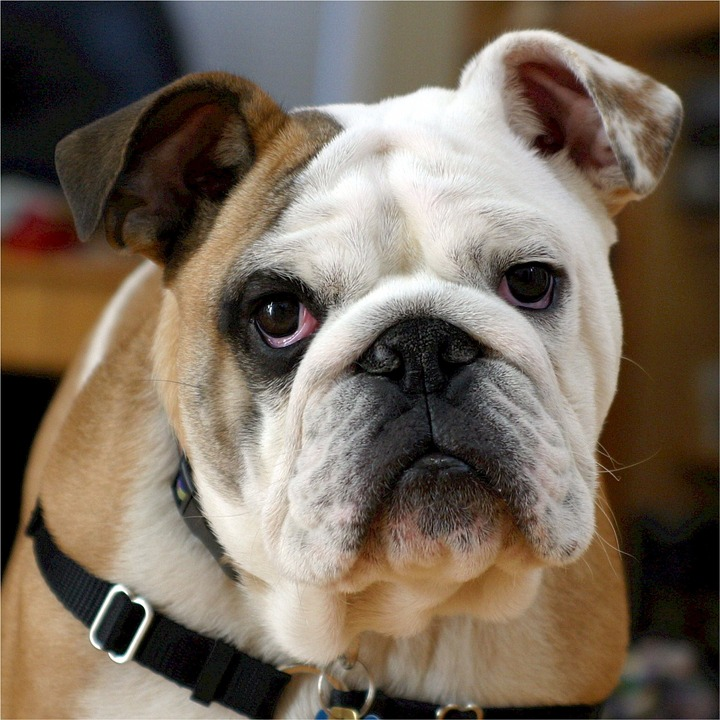 english-bulldog smart dogs that are easy to train