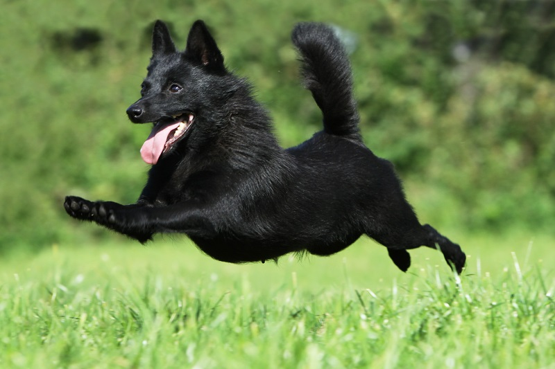 Black Schipperke jumping and smiling