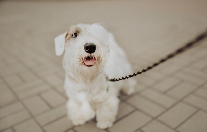 Happy White Sealyham Terrier in the park walking on a leash
