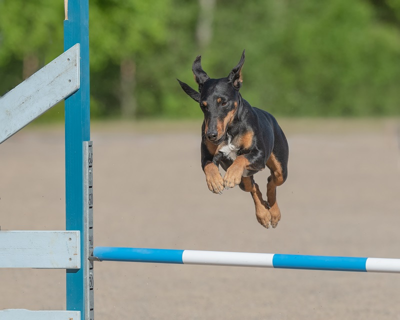 Manchester Terrier jumps over an agility hurdle