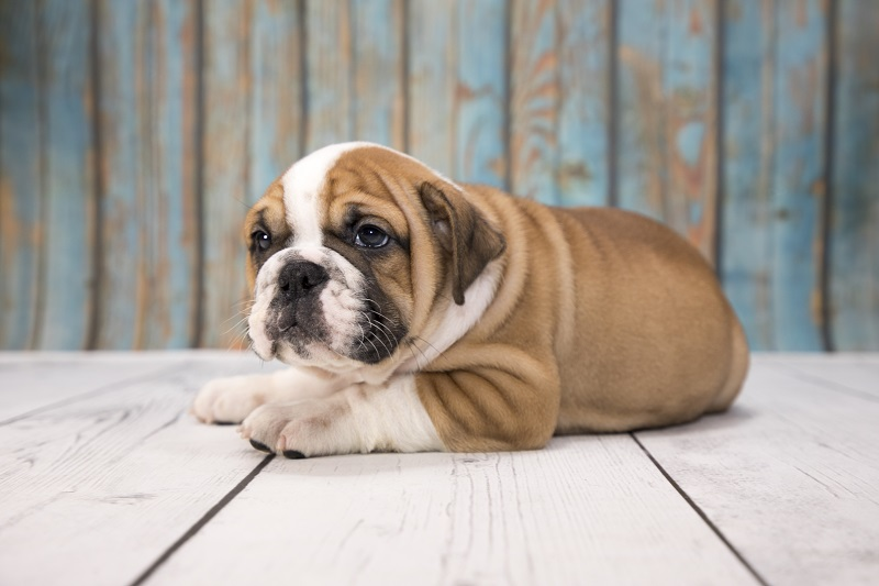 Victorian Bulldog puppy resting on wooden floor