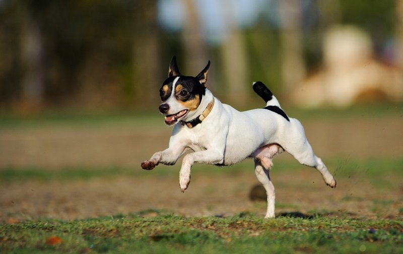 Toy Fox Terrier running happily across grass field