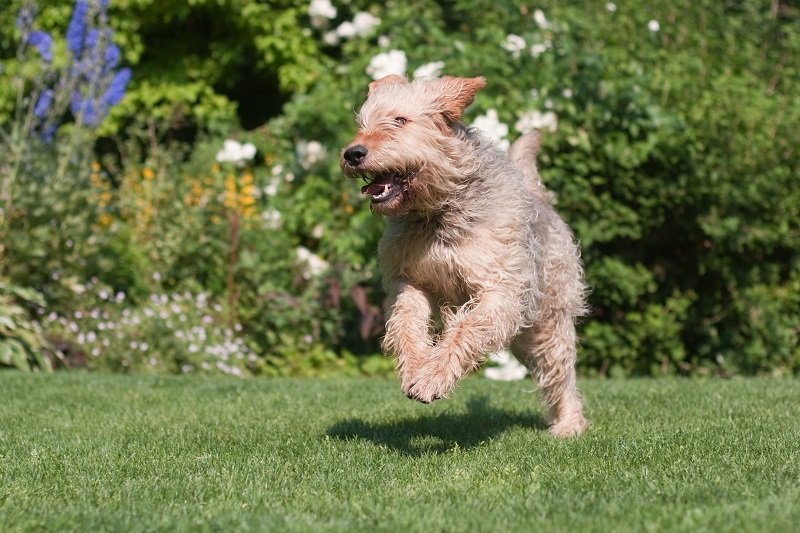 Otterhound running