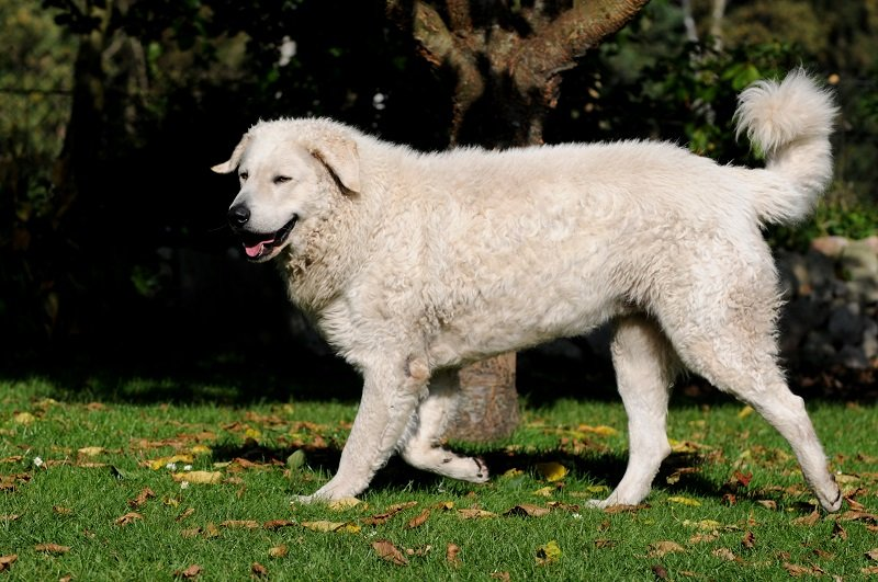Kuvasz walking on grass
