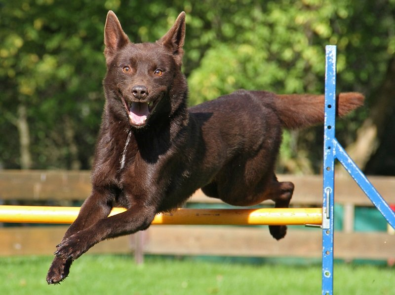 Kelpie agility training jumping over obstacle