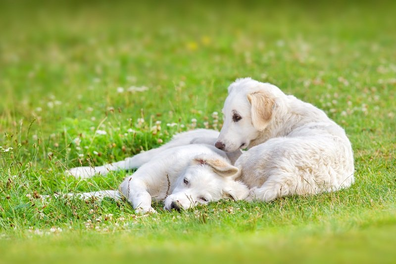 Hungarian Kuvasz puppies on spring meadow
