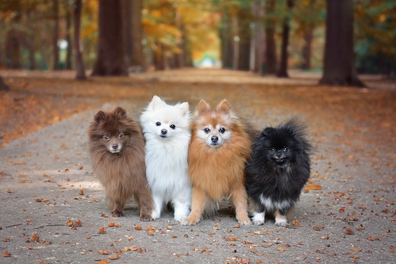 Four Pomeranian dogs sitting next to each other