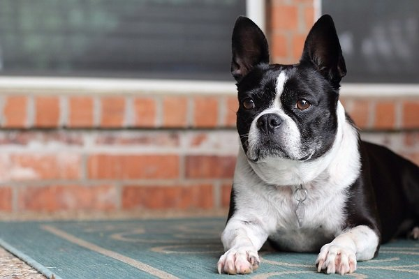 french bulldog for sale near me
