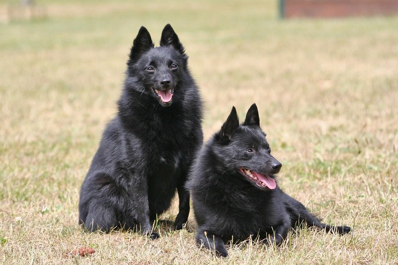 2 black schipperke dogs on brown grass