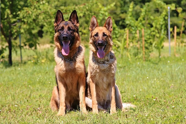 German shepherds make the best dogs for first time owners