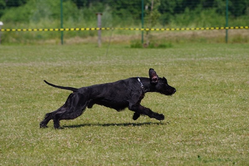 giant-schnauzer best family protection dog breeds