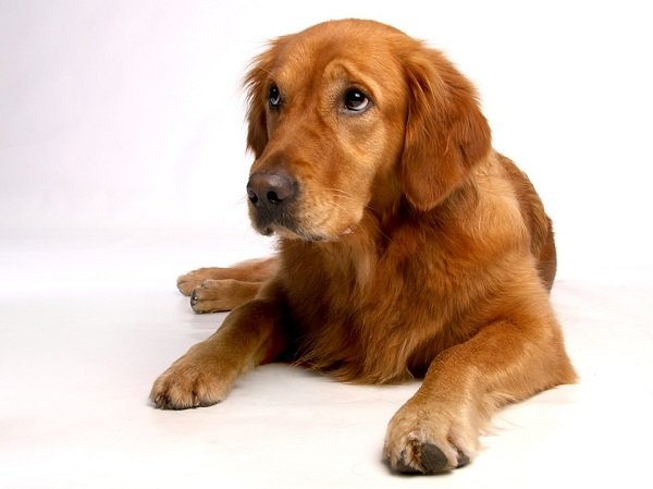 golden-retriever best large dog breeds for first time owners
